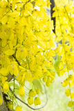 Panicle golden shower tree Stock Photos