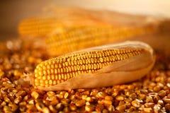 Panicle i kukurydzani nasiona zdjęcie stock