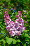 Panicle of lilac on the green bush Royalty Free Stock Images