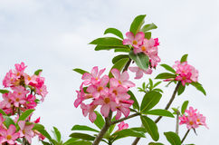 Panicle of pink Desert Rose Stock Photography