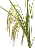 Panicle rice. On white back ground Stock Photography