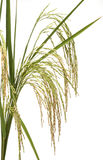 Panicle rice. On white back ground Stock Photo
