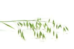 Panicle vert d'avoine Photos libres de droits