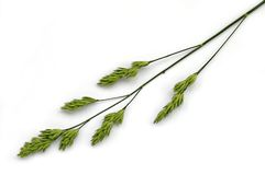 Panicle weed Royalty Free Stock Photo