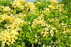 Panicle of yellow Ixoras Royalty Free Stock Photography