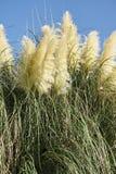 Panicles of pampas grass Stock Photos