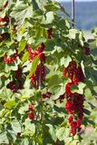 Panicles with ripe currants Royalty Free Stock Photos