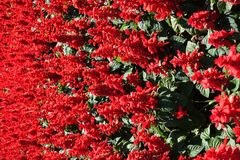 Panicles of red flowers of Salvia splendens. Panicles of scarlet red flowers of Salvia splendens royalty free stock images
