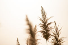 Panicles secados da grama do arbusto no fundo branco Imagem de Stock Royalty Free