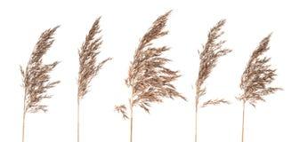 Panicles secchi dell'erba del cespuglio su fondo bianco Fotografie Stock Libere da Diritti