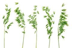 Panicles verdes de la avena. Imagen de archivo libre de regalías