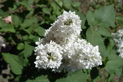 Panicles of white flowers of lilac Royalty Free Stock Images