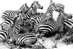 Panico della zebra Immagine Stock
