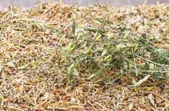 Ξεράνετε των εγκαταστάσεων paniculata Andrographis στη χρήση δίσκων ανοξείδωτου Στοκ Εικόνα