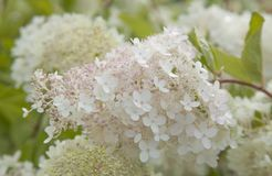 Paniculata bianco e rosa dell'ortensia Fotografia Stock