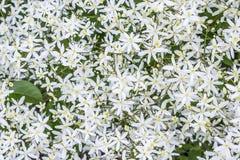 Paniculata da clematite do paniculata da clematite Foto de Stock Royalty Free