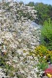 Paniculata da clematite (paniculata da clematite) Imagem de Stock Royalty Free
