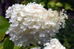 Paniculata de la hortensia grandiflora Imagenes de archivo
