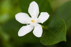 Paniculata de Murraya Photos libres de droits