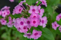 Paniculata de phlox d'†de phlox de jardin « Photos libres de droits