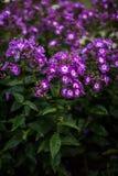Paniculata de phlox, variété pourpre de baiser, phlox avec les flowrs pourpres et blancs Photo stock