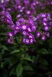 Paniculata de phlox, variété pourpre de baiser, phlox avec les flowrs pourpres et blancs Photographie stock