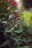 Paniculata del polemonio, variedad del clayton del señor, polemonio con los flowrs rojos Fotografía de archivo libre de regalías