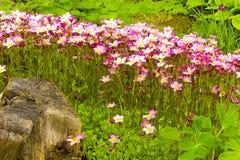 Paniculata della sassifraga Fotografia Stock