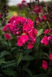 Paniculata do flox, variedade do clayton do senhor, flox com flowrs vermelhos Fotografia de Stock Royalty Free