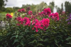 Paniculata do flox, variedade do clayton do senhor, flox com flowrs vermelhos Foto de Stock