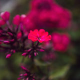 Paniculata do flox, variedade do clayton do senhor, flox com flowrs vermelhos Fotografia de Stock