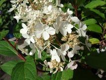 Paniculata 'Dvppinky' Pinky Winky dell'ortensia Fotografia Stock