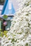 Paniculata för klematispaniculataklematis Arkivbild