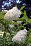 Paniculata floreciente de la hortensia grandiflora Imagen de archivo
