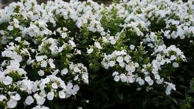 Paniculata Phlox, άσπρη ποικιλία ναυάρχων, phlox με τα άσπρα flowrs απόθεμα βίντεο