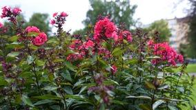 Paniculata Phlox, ποικιλία Λόρδου clayton, phlox με τα κόκκινα flowrs απόθεμα βίντεο