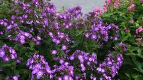 Paniculata Phlox, πορφυρή ποικιλία φιλιών, phlox με τα πορφυρά και άσπρα flowrs απόθεμα βίντεο
