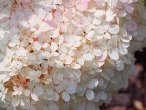 Paniculata ` Renhy ` ` Vanille Fraise ` Hydrangea - panicle hydrangea Στοκ εικόνες με δικαίωμα ελεύθερης χρήσης