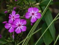 Paniculta Phlox †κήπων «phlox στοκ εικόνα