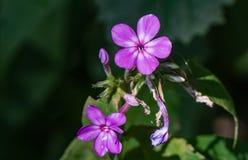 Paniculta Phlox †κήπων «phlox Στοκ φωτογραφίες με δικαίωμα ελεύθερης χρήσης