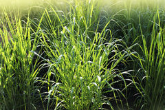 Panicum virgatum, commonly known as switchgrass, is a perennial bunchgrass . Stock Photo