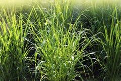 Panicumvirgatumen som gemensamt är bekant som switchgrass, är perenna bunchgrass Arkivfoto