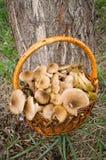 Panier avec des champignons de couche comestibles. Photo stock