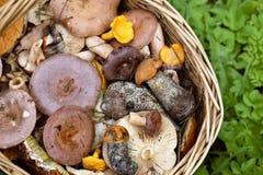 Panier avec des champignons sur l'herbe verte Photo stock