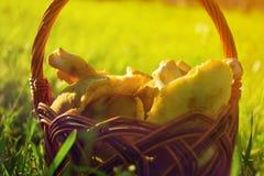 Panier avec des champignons sur une herbe verte au printemps Photographie stock