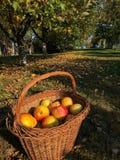 Panier avec des pommes Photo stock