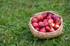 Panier avec des pommes dans l'herbe Images stock