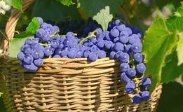 Panier avec des raisins Photographie stock libre de droits