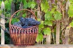 Panier avec des raisins sur le fond de haie Photographie stock libre de droits