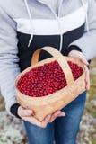 Panier avec les airelles rouges mûres dans les mains d'une fille Photographie stock